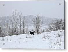 Acrylic Print featuring the photograph Bernes Mountain Dog In Snow by Charline Xia