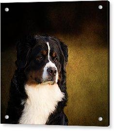 Bernese Mountain Dog Acrylic Print