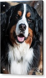 Bernese Mountain Dog Portrait  Acrylic Print by Gary Whitton
