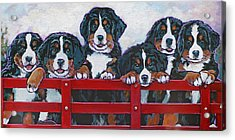 Bernese Mountain Dog Puppies Acrylic Print by Nadi Spencer