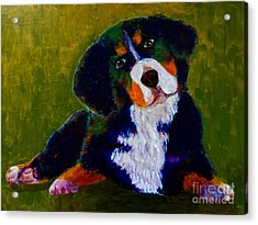 Bernese Mtn Dog Puppy Acrylic Print by Donald J Ryker III
