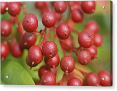 Acrylic Print featuring the photograph Berries by Heidi Poulin