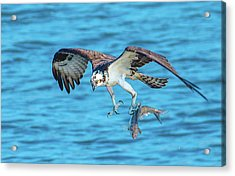 Best Osprey With Fish In One Talon Acrylic Print by Jeff at JSJ Photography