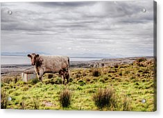 Besty My Irish Cow Acrylic Print by Natasha Bishop