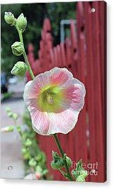 Beyond The Garden Fence Acrylic Print