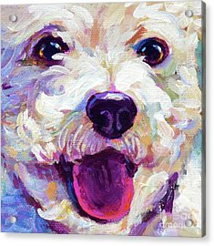 Bichon Frise Face Acrylic Print by Robert Phelps