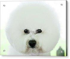 Bichon Frise Show Dog Acrylic Print by Lynn Koenig