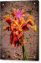 Bicolor Beauty Acrylic Print by Robert Bales