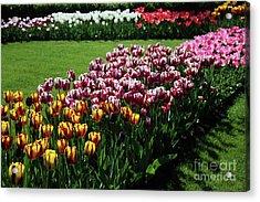 Multicolor Tulips Acrylic Print