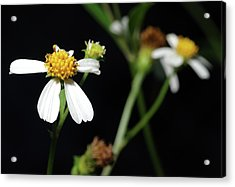 Acrylic Print featuring the photograph Bidens Alba by Richard Rizzo