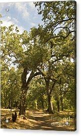 Bidwell Park Oak Tree Acrylic Print