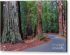Big Basin Redwoods Acrylic Print
