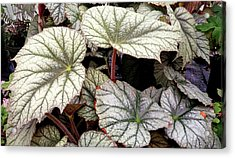 Big Begonia Leaves Acrylic Print