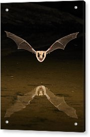 Big Brown Bat Reflection Acrylic Print by Scott  Linstead