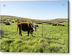 Acrylic Print featuring the photograph Big Bull At Point Reyes National Seashore California Dsc4884 by Wingsdomain Art and Photography