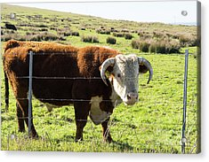 Acrylic Print featuring the photograph Big Bull At Point Reyes National Seashore California Dsc4885 by Wingsdomain Art and Photography