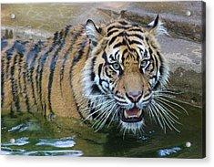 Acrylic Print featuring the photograph Big Cat by Elizabeth Budd