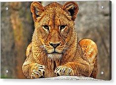Big Cat Lion Collection Acrylic Print