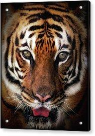 Big Cat Stare Down Acrylic Print