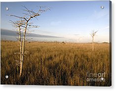 Big Cypress Acrylic Print by David Lee Thompson