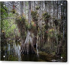 Big Cypress Preserve Acrylic Print by Bill Martin