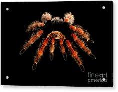 Big Hairy Tarantula Theraphosidae Isolated On Black Background Acrylic Print