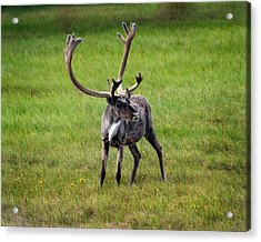 Big Horn Acrylic Print by Anthony Jones