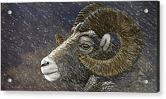 Big Horn In Snowstorm Acrylic Print