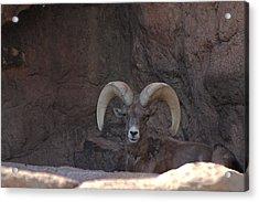 Acrylic Print featuring the photograph Big Horn Ram by Daniel Hebard