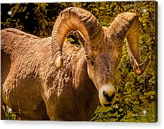 Acrylic Print featuring the photograph Big Horn Sheep by Claudia Abbott