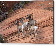 Big Horn Sheep, Zion National Park Acrylic Print