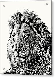 Big Male Lion Portrait Acrylic Print