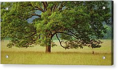 Big Oak Acrylic Print
