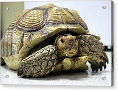 Big Ol Turtle Acrylic Print