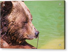 Big Old Bear With A Tiny Stick Acrylic Print by Karol Livote
