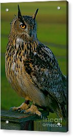 Acrylic Print featuring the photograph Big Owl by Louise Fahy