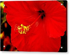 Big Red Caribbean Hibiscus Acrylic Print by Leonard Rosenfield
