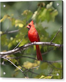 Big Red Acrylic Print by Robert Pearson