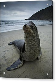 Big Seal Acrylic Print