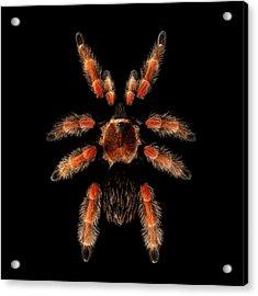 Big Spider Brachypelma Boehmei Acrylic Print