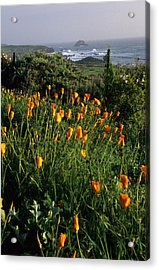 Big Sur Poppies Acrylic Print by Eric Foltz