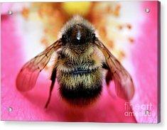 Big Time Bee Close Up Acrylic Print by Terry Elniski