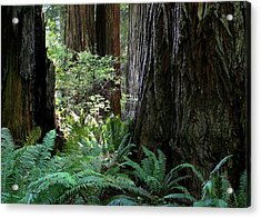 Big Trees And Ferns Acrylic Print by Jim Nelson