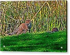 Big Yawn By Little Cub Acrylic Print