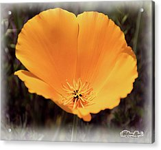 Acrylic Print featuring the photograph Big Yellow Poppy by William Havle