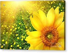 Big Yellow Sunflower  Acrylic Print