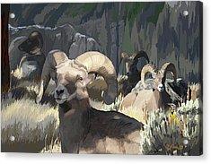 Bighorn Boys Acrylic Print