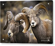 Bighorn Brothers Acrylic Print by Kevin Munro