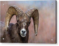 Bighorn Portrait Acrylic Print