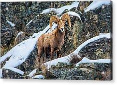 Bighorn Ram 3 Acrylic Print